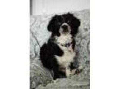 Adopt Finley a Black - with White Border Collie / Australian Shepherd / Mixed