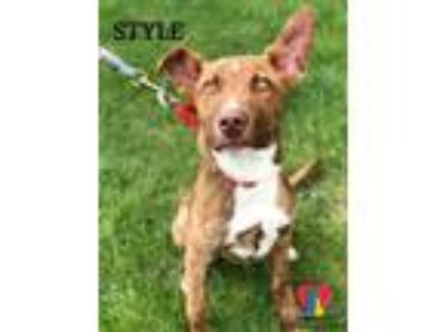 Adopt Style a Brindle American Pit Bull Terrier / Mixed dog in Grand Island