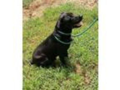 Adopt Manley a Black Labrador Retriever
