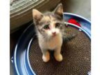 Adopt Carly Simon the Calico! a Calico or Dilute Calico Calico (short coat) cat