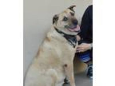 Adopt Seymour a Tan/Yellow/Fawn Shepherd (Unknown Type) / Mixed dog in McKinney