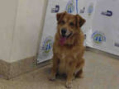 Adopt STACY a Red/Golden/Orange/Chestnut Golden Retriever / Mixed dog in Doral