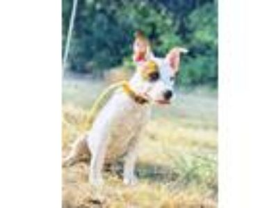 Adopt juno a Brindle - with White Australian Cattle Dog / Mixed dog in haslet