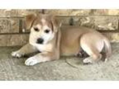 Adopt Russo Atwood a Shepherd (Unknown Type) / Mixed dog in Barrington
