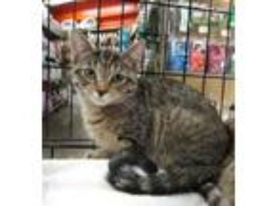 Adopt Snickers & Suki a Domestic Short Hair, Tabby