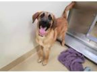 Adopt *SQUIRREL a Black - with Tan, Yellow or Fawn German Shepherd Dog / Mixed