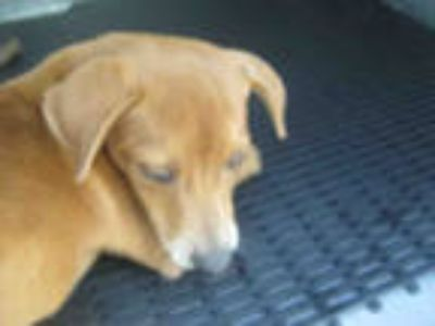 Adopt a Brown/Chocolate - with White Dachshund / Mixed dog in San Antonio