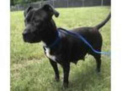 Adopt Jada a Black American Pit Bull Terrier / Mixed dog in Yadkinville