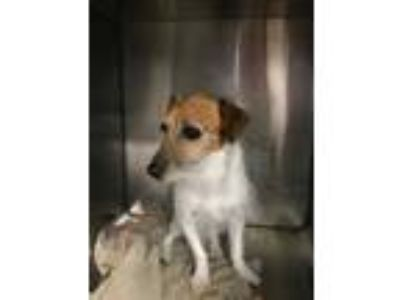Adopt Eddie a White Jack Russell Terrier / Mixed dog in Waldorf, MD (25907151)