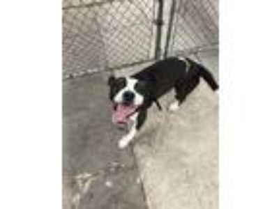 Adopt Duke a Black - with White Hound (Unknown Type) / American Pit Bull Terrier
