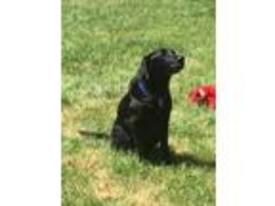 Adopt Buck #3 a Black Labrador Retriever