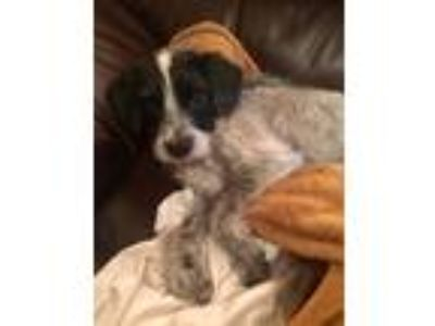 Adopt Afroza a Black - with White Mixed Breed (Small) / Mixed dog in Smithtown