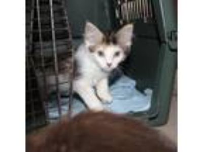 Adopt Kooka a Calico or Dilute Calico Domestic Mediumhair cat in Woodstock