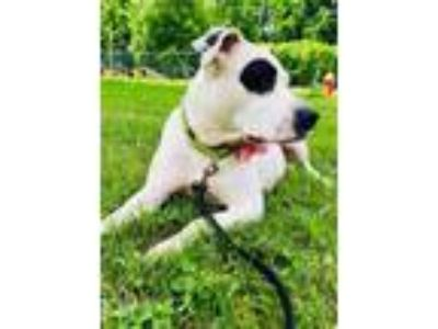 Adopt PIPPY a Pit Bull Terrier