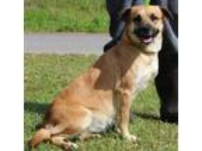 Adopt Bella 30385 a Brown/Chocolate - with White Collie / Catahoula Leopard Dog