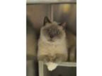 Adopt Jenny a Tan or Fawn Siamese / Domestic Shorthair / Mixed cat in