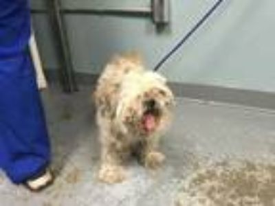 Adopt Meadow a Tan/Yellow/Fawn Lhasa Apso / Mixed dog in Greenville