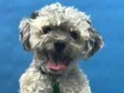 Adopt Leo a Tan/Yellow/Fawn Havanese / Mixed dog in Golden Valley, MN (25937800)