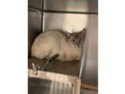 Adopt Lavender a Siamese, Domestic Short Hair