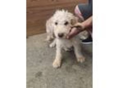 Adopt Johnny a White Labradoodle dog in Manhattan, NY (25654912)