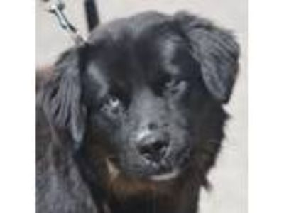 Adopt Edward a Black - with Brown, Red, Golden, Orange or Chestnut Australian