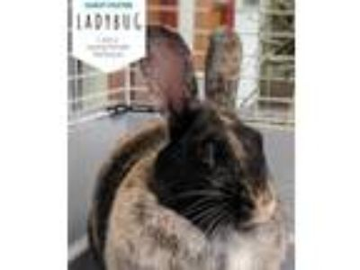 Adopt Ladybug a Harlequin / Mixed rabbit in Hillside, IL (25854411)