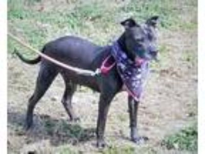 Adopt Jenny a American Staffordshire Terrier