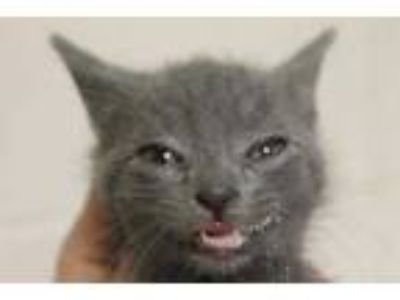 Adopt Jenny a Gray or Blue Domestic Shorthair / Domestic Shorthair / Mixed cat