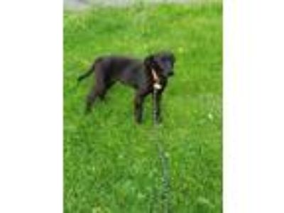 Adopt Athena a Labrador Retriever, Border Collie