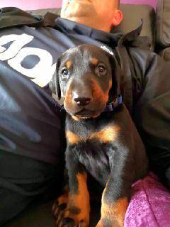 4 Doberman Pinscher Puppies Available
