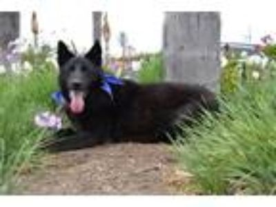 Adopt Cole a German Shepherd Dog / Mixed dog in Downey, CA (18282062)