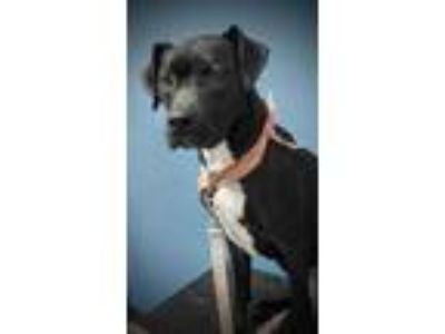 Adopt Henessy a Black Labrador Retriever / American Pit Bull Terrier / Mixed dog