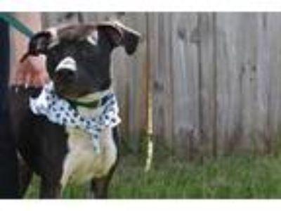 Adopt Loki a Black - with White American Pit Bull Terrier / Labrador Retriever /