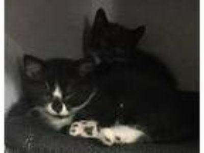 Adopt 2 Kittens (Cage 17) a Black (Mostly) Domestic Shorthair (short coat) cat