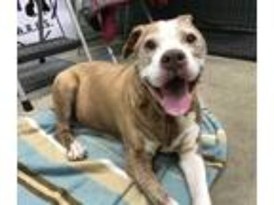 Adopt Tanner a Tan/Yellow/Fawn Pit Bull Terrier / Mixed dog in Seymour