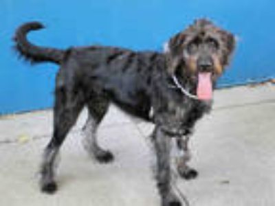 Adopt K-PORT a Black Wirehaired Pointing Griffon / Mixed dog in San Francisco