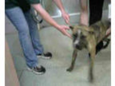Adopt LAILA a Brindle Boxer / American Pit Bull Terrier / Mixed dog in Chicago