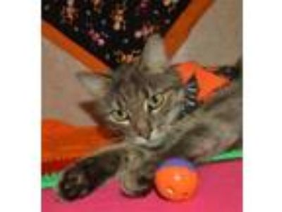 Adopt Shella a Domestic Short Hair