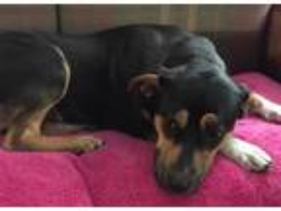 Adopt Cindy a Black - with Brown, Red, Golden, Orange or Chestnut Blue Heeler /