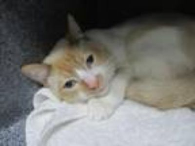 Adopt S'MORE a Siamese, Domestic Short Hair