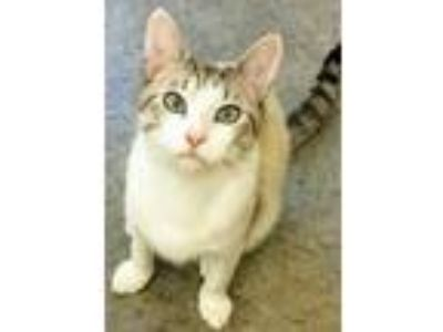 Adopt Mantis a Domestic Shorthair / Mixed (short coat) cat in Clinton