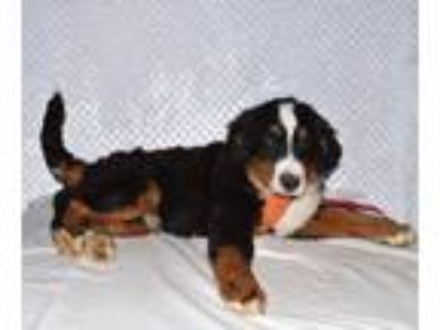 Adopt Samson a Bernese Mountain Dog / Mixed dog in Manhattan, NY (25547345)