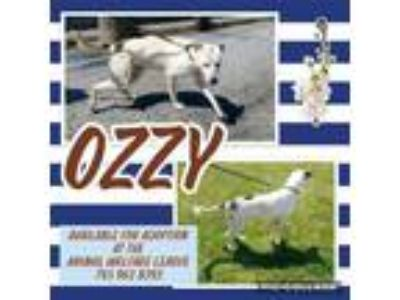 Adopt Ozzy a Pit Bull Terrier, Cattle Dog