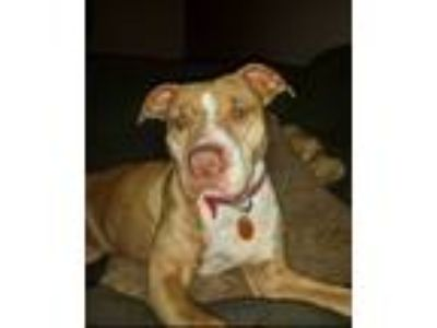 Adopt Bronx a Tan/Yellow/Fawn - with White American Pit Bull Terrier / Mixed dog