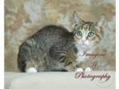 Adopt Gretta a Spotted Tabby/Leopard Spotted Domestic Shorthair / Mixed (short
