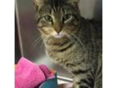 Adopt Lenny a Domestic Short Hair
