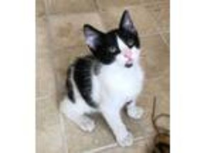 Adopt Tibbs a White Domestic Shorthair / Domestic Shorthair / Mixed cat in