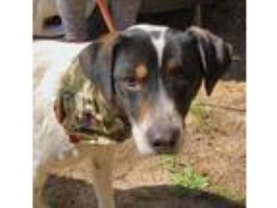 Adopt Pirate Jack a Pointer, Jack Russell Terrier