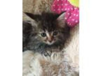 Adopt Laci a Maine Coon, Domestic Short Hair
