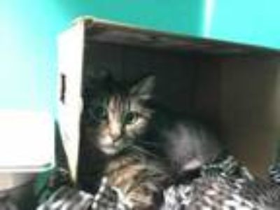 Adopt Patty a All Black Domestic Longhair / Domestic Shorthair / Mixed cat in